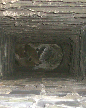 Raccoons In The Chimney How To Get Them Out Humane
