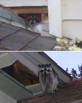 Raccoons In The Attic How To Get Them Out Humane