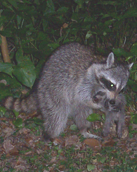 Education About Raccoon Biology Diet Habitat Mating